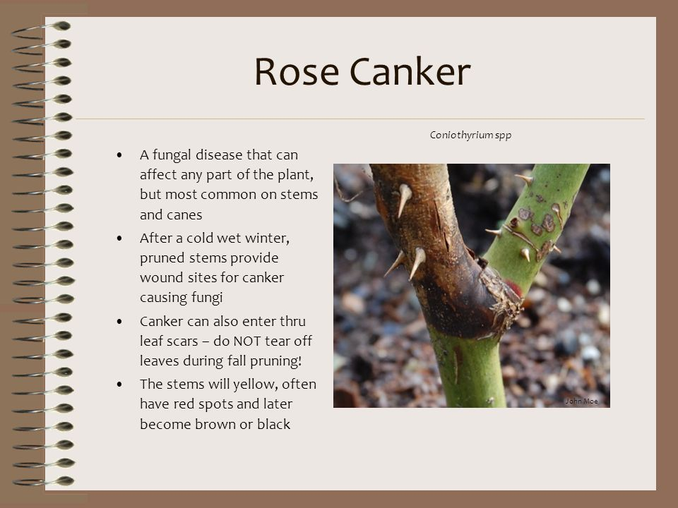 Rose Canker Coniothyrium spp. A fungal disease that can affect any part of the plant, but most common on stems and canes.