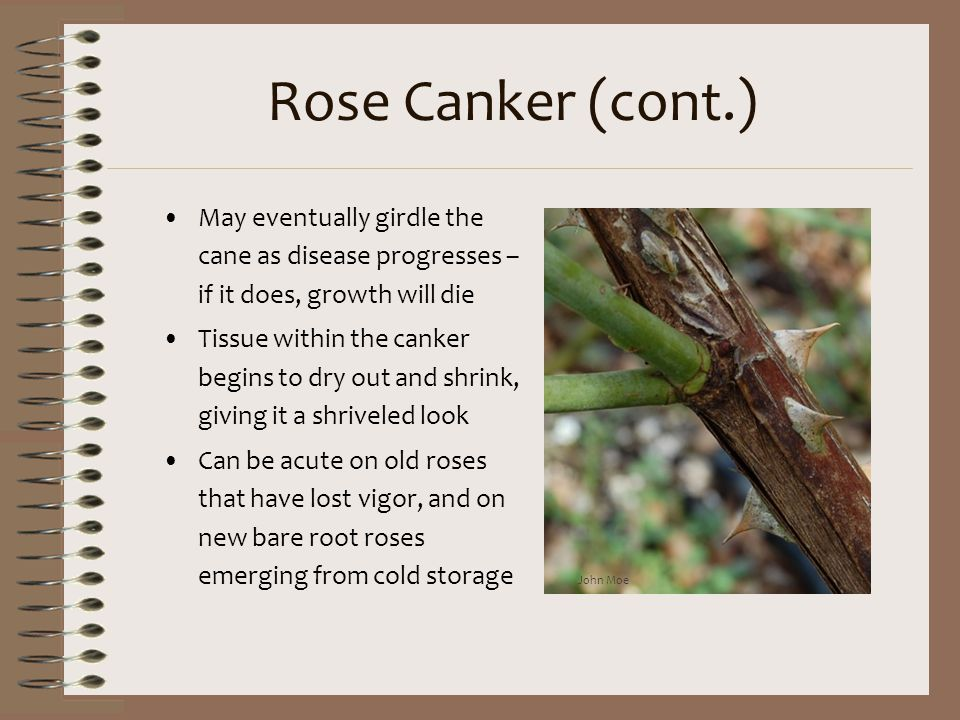 Rose Canker (cont.) May eventually girdle the cane as disease progresses – if it does, growth will die.
