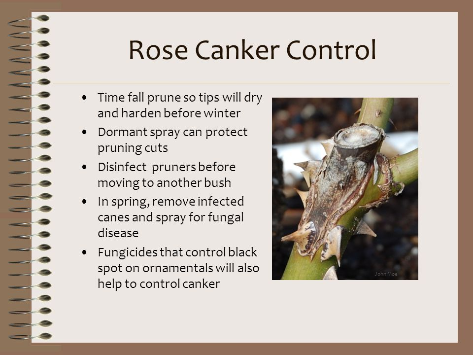 Rose Canker Control Time fall prune so tips will dry and harden before winter. Dormant spray can protect pruning cuts.