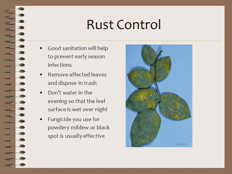 Rust Control Good sanitation will help to prevent early season infections. Remove affected leaves and dispose in trash.