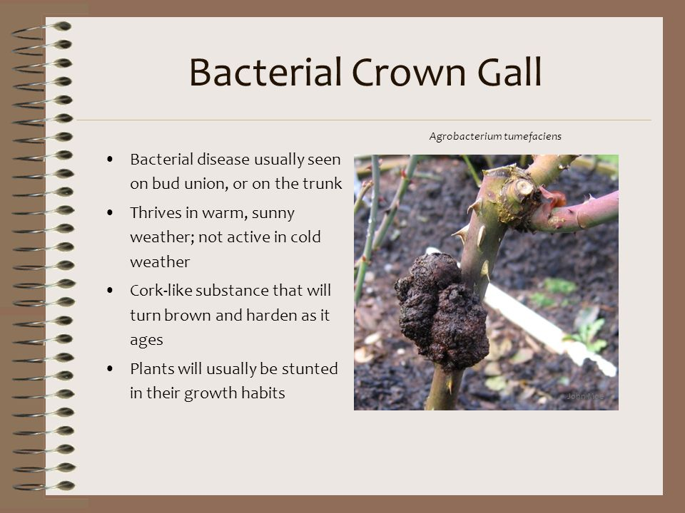 Bacterial Crown Gall Agrobacterium tumefaciens. Bacterial disease usually seen on bud union, or on the trunk.