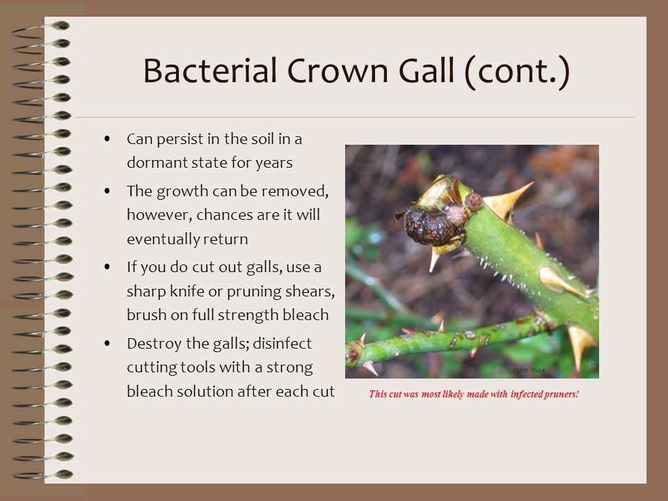 Bacterial Crown Gall (cont.)