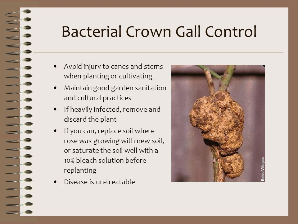 Bacterial Crown Gall Control