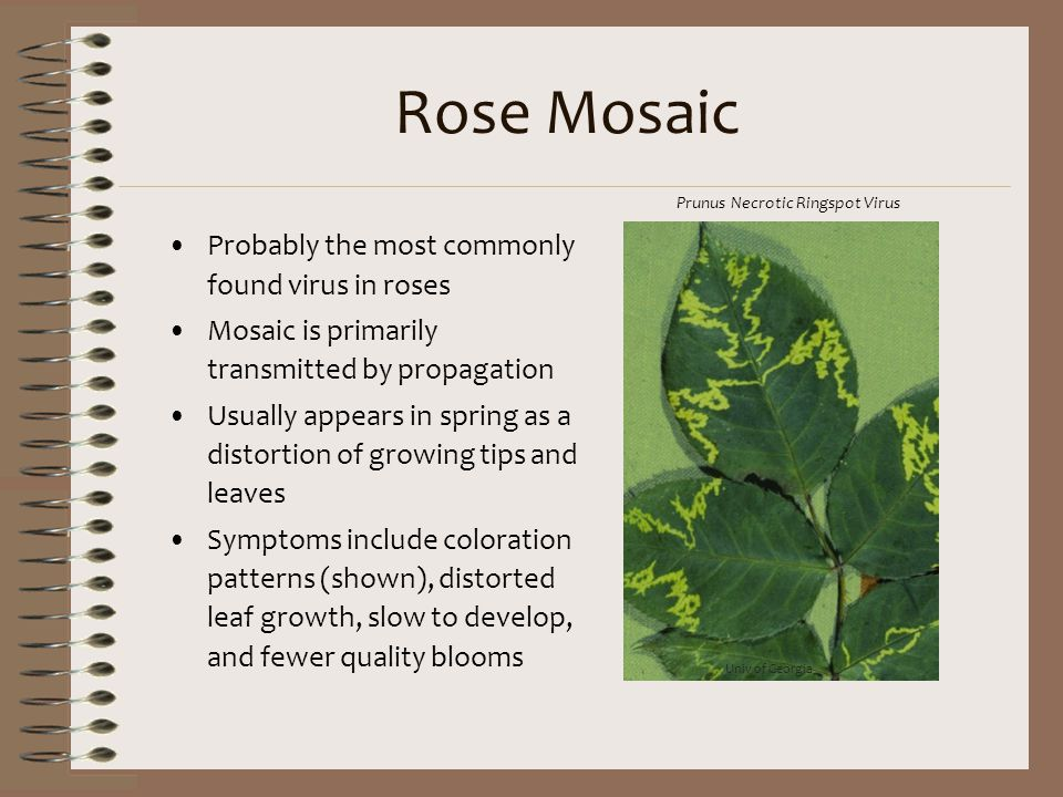 Rose Mosaic Probably the most commonly found virus in roses