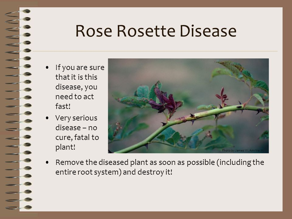 Rose Rosette Disease If you are sure that it is this disease, you need to act fast! Very serious disease – no cure, fatal to plant!