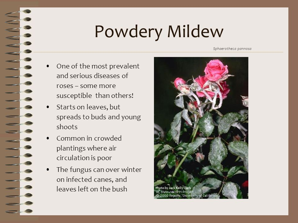 Powdery Mildew Sphaerotheca pannosa. One of the most prevalent and serious diseases of roses – some more susceptible than others!