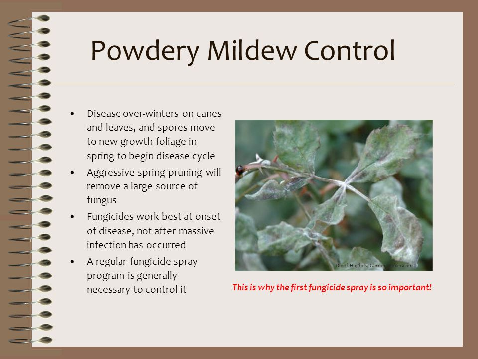 Powdery Mildew Control