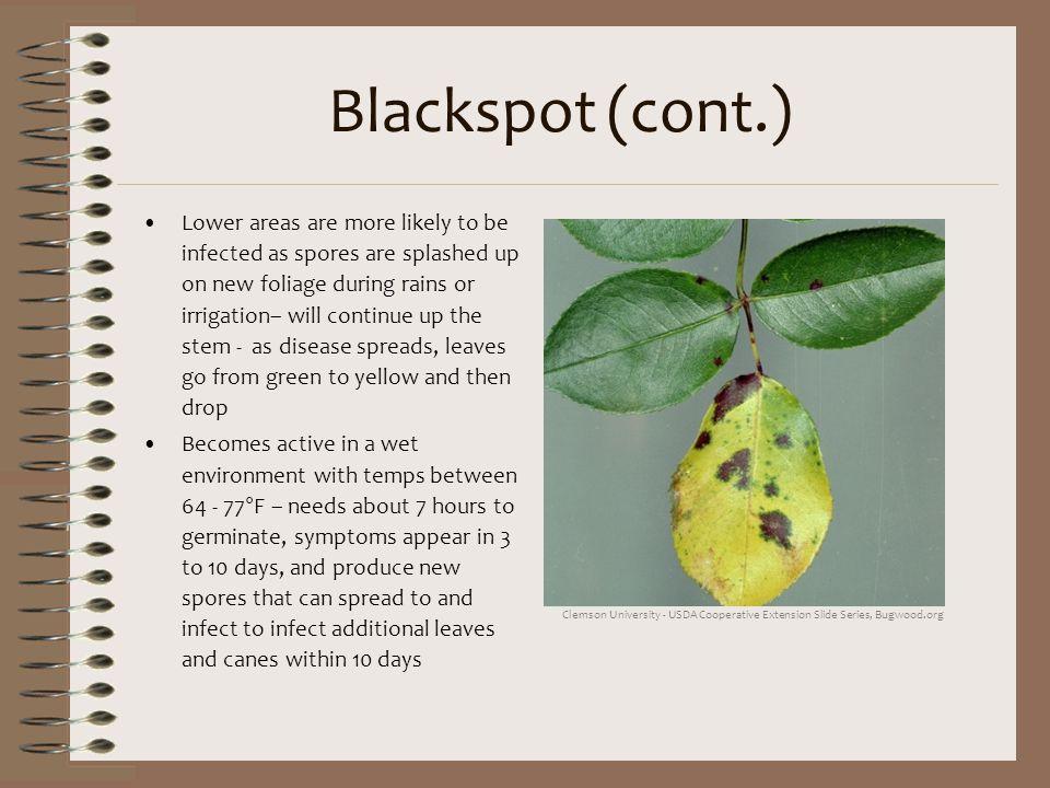 Blackspot (cont.)