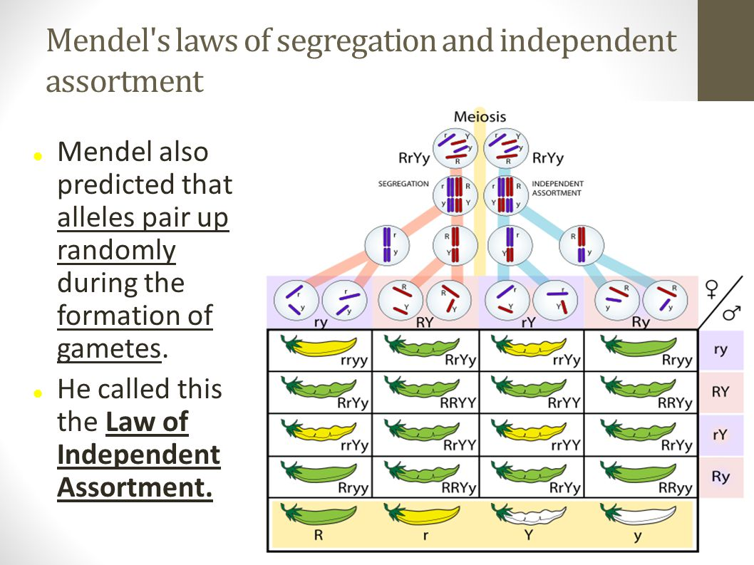Mendel s laws of segregation and independent assortment