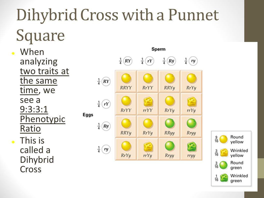 Dihybrid Cross with a Punnet Square