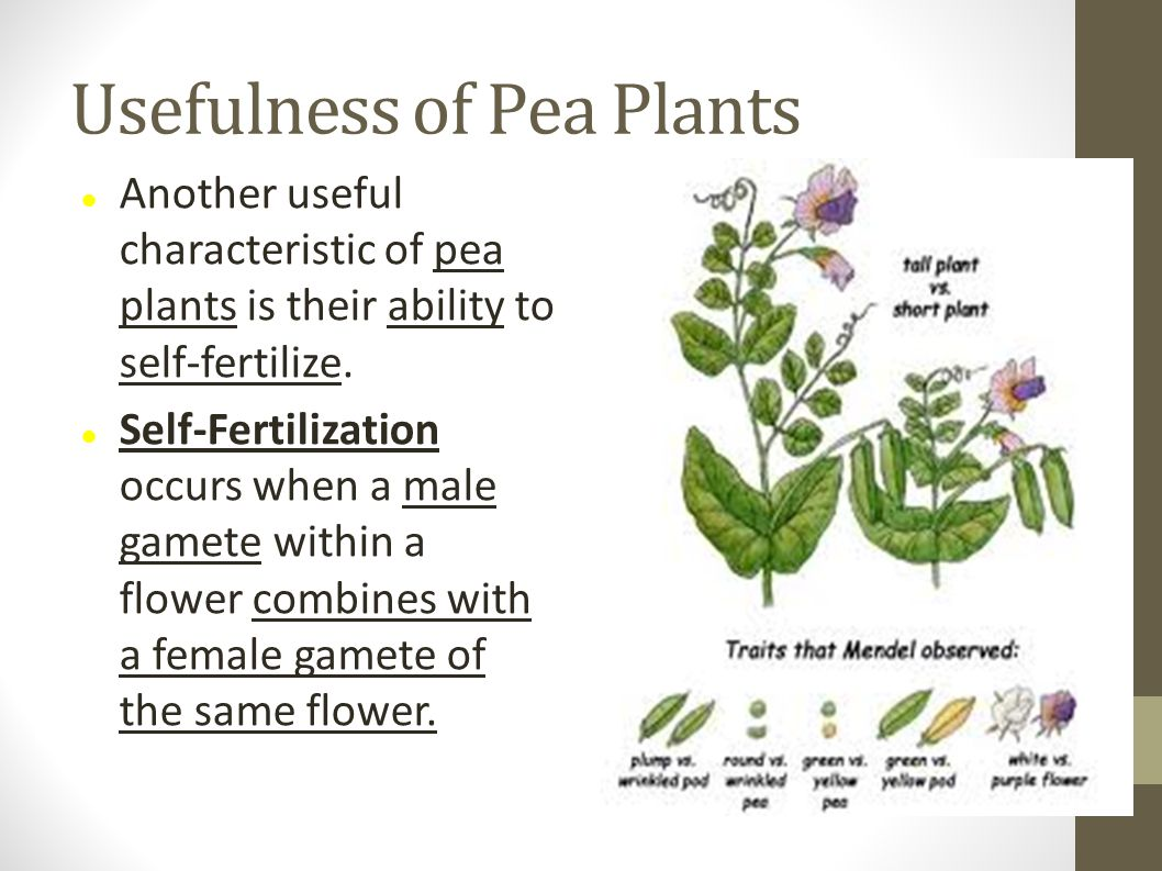 Usefulness of Pea Plants