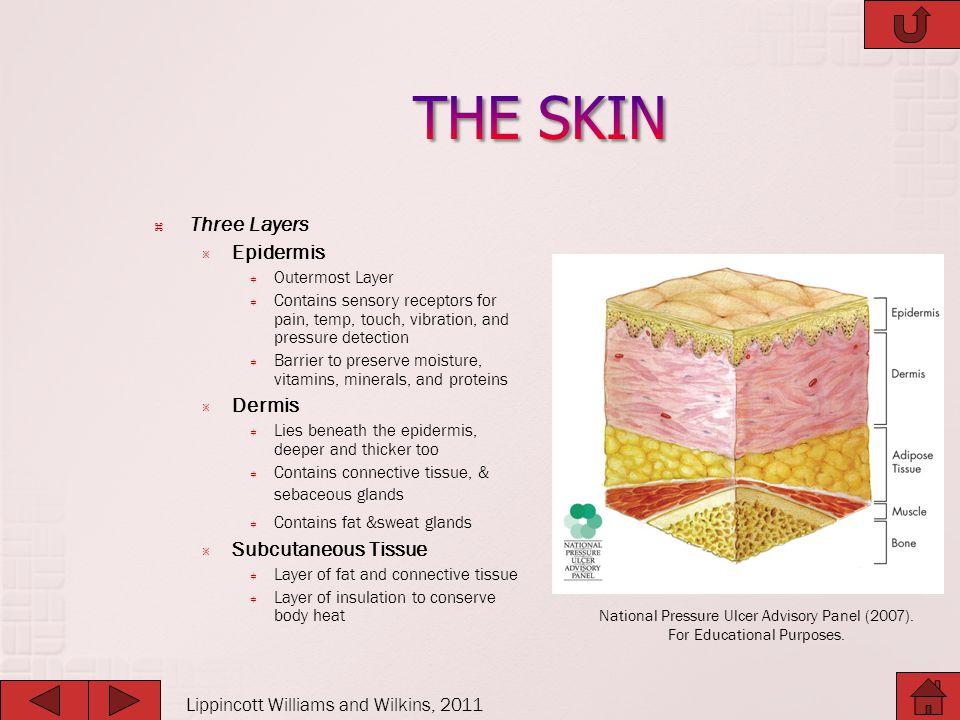 THE SKIN Three Layers Epidermis Dermis Subcutaneous Tissue