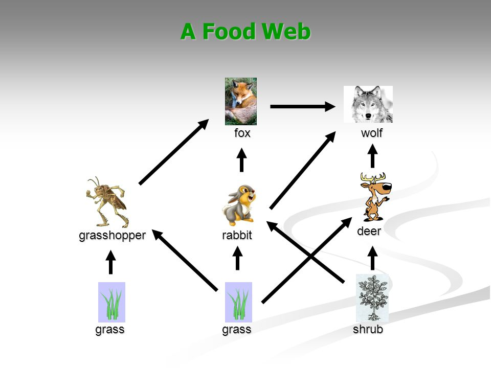 A Food Web fox wolf deer grasshopper rabbit Sarah grass grass shrub