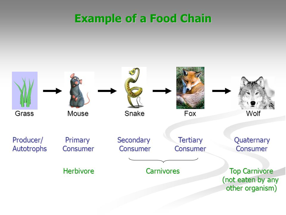 Example of a Food Chain Grass Mouse Snake Fox Wolf Producer/