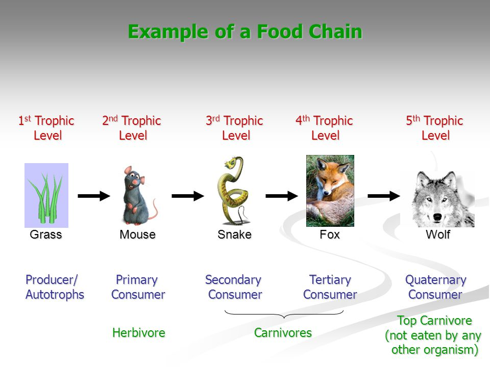 Example of a Food Chain 1st Trophic Level 2nd Trophic Level