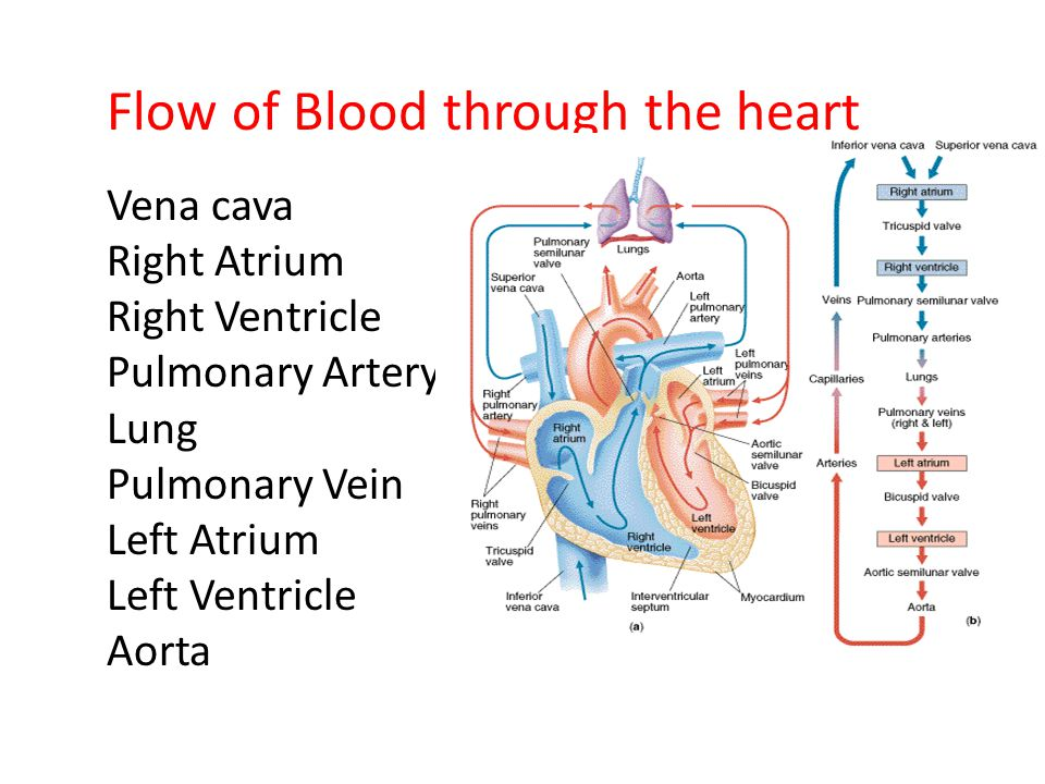 Flow of Blood through the heart