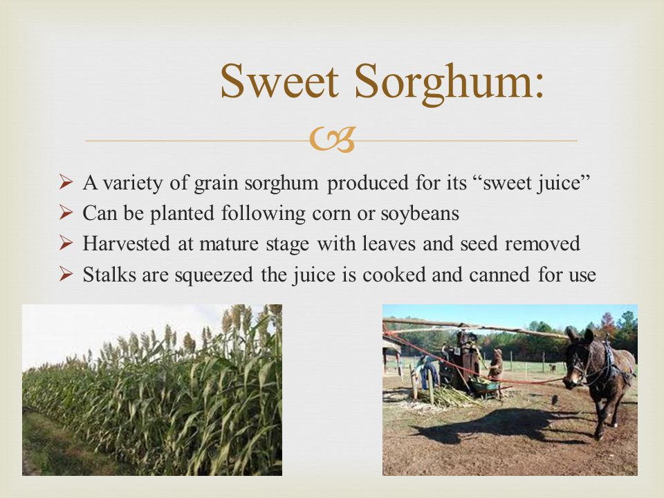 Sweet Sorghum: A variety of grain sorghum produced for its sweet juice Can be planted following corn or soybeans.