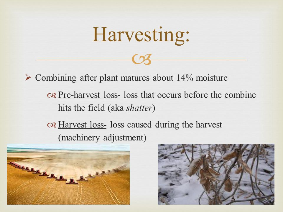 Harvesting: Combining after plant matures about 14% moisture