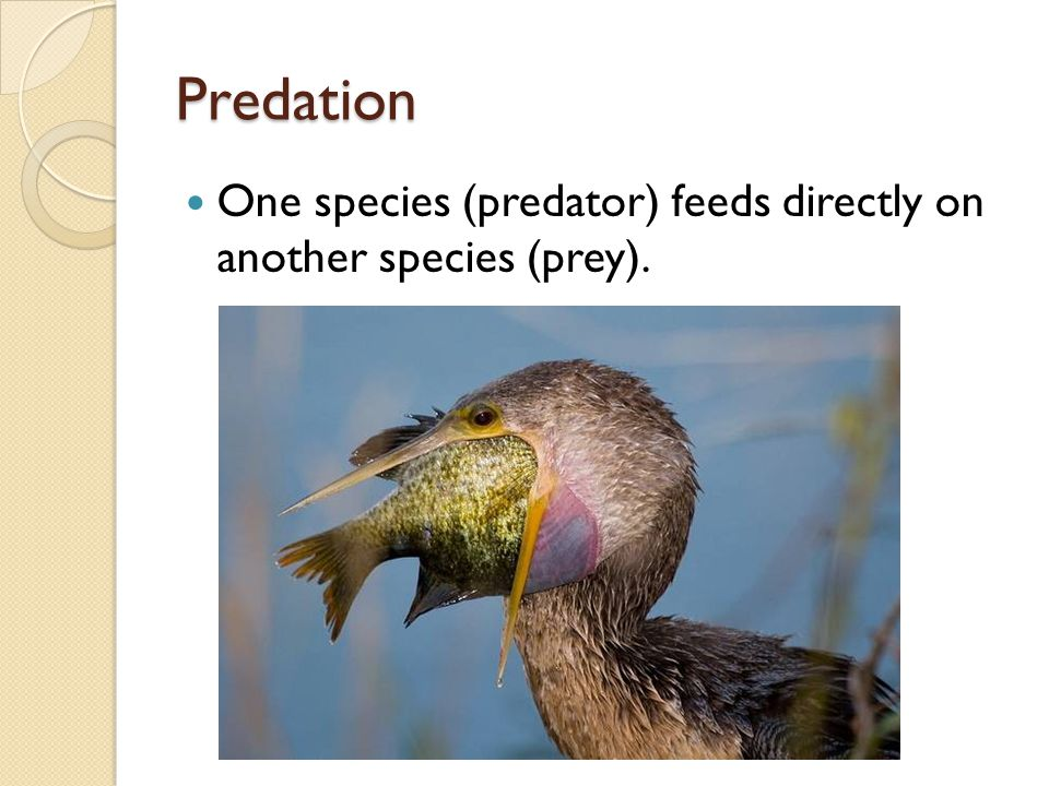 Predation One species (predator) feeds directly on another species (prey).