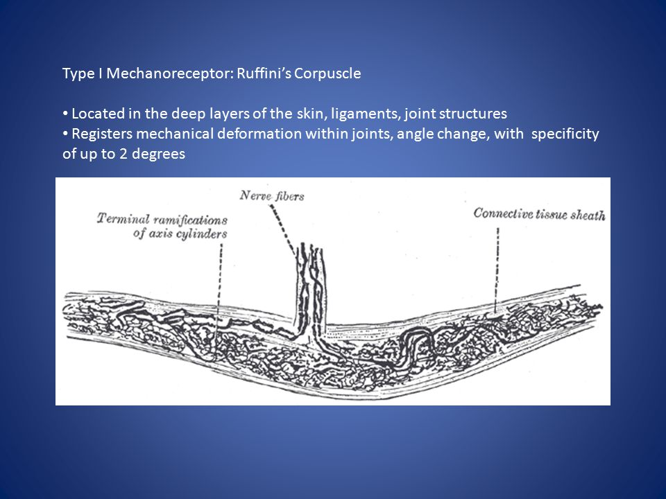 Type I Mechanoreceptor: Ruffini's Corpuscle