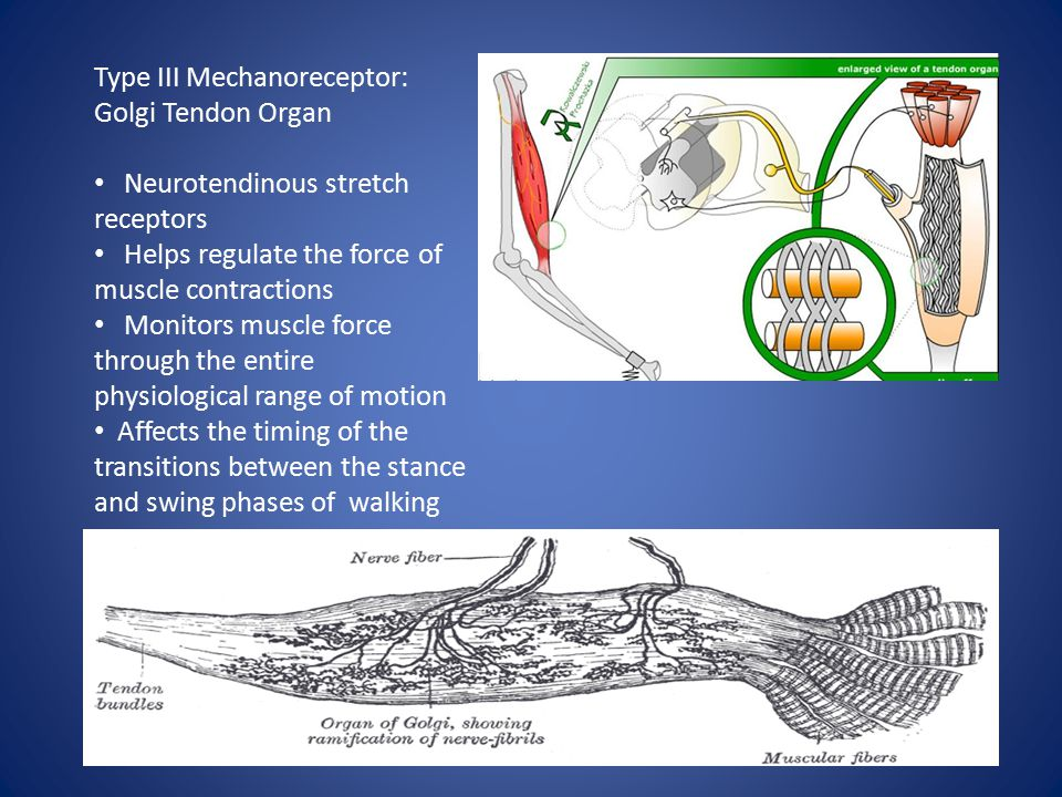 Type III Mechanoreceptor: