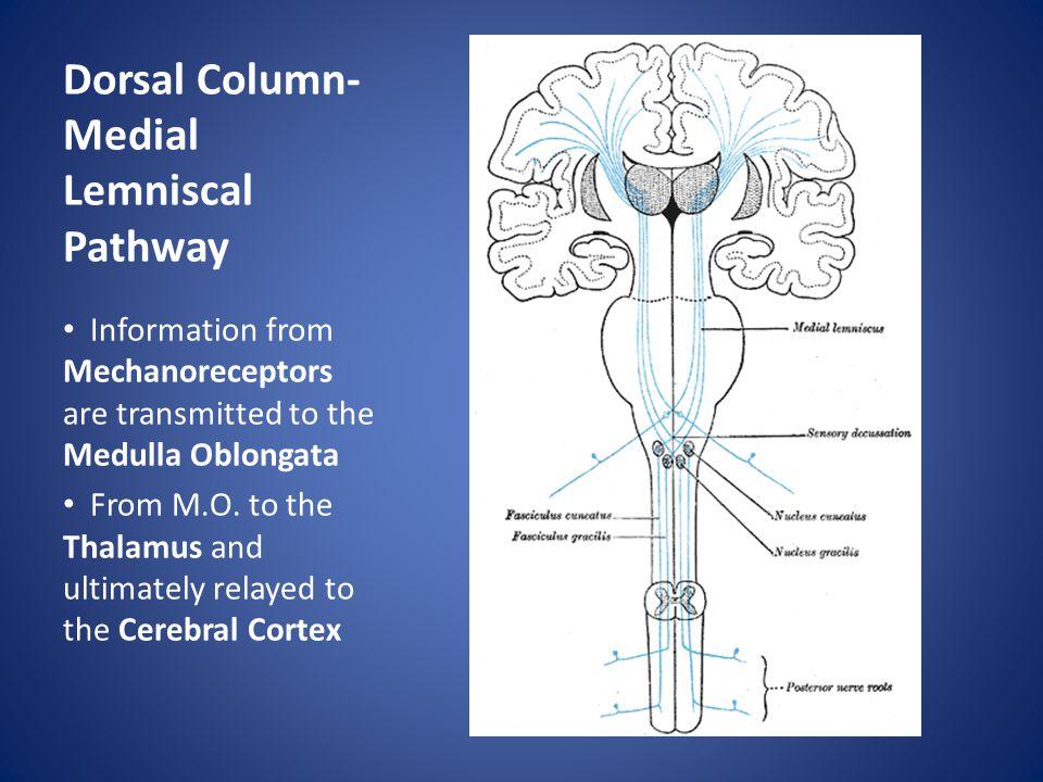 Dorsal Column-Medial Lemniscal Pathway