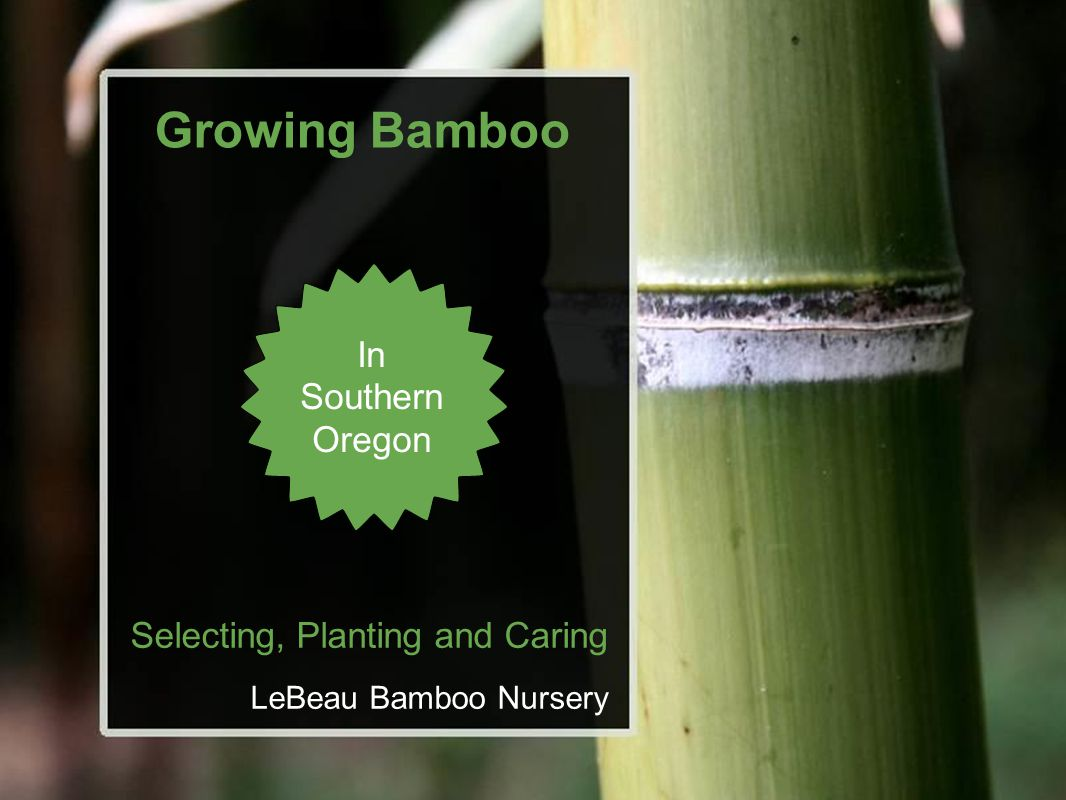Growing Bamboo In Southern Oregon Selecting, Planting and Caring