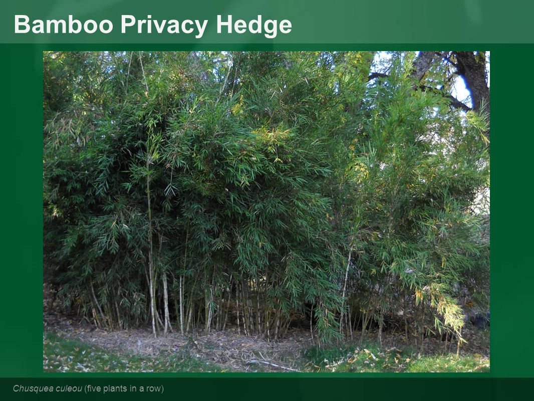 Bamboo Privacy Hedge Chusquea culeou (five plants in a row)