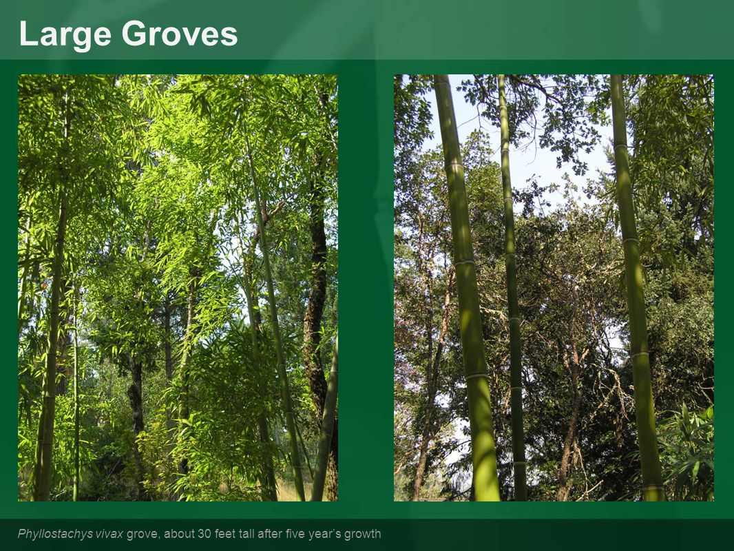 Large Groves Phyllostachys vivax grove, about 30 feet tall after five year's growth