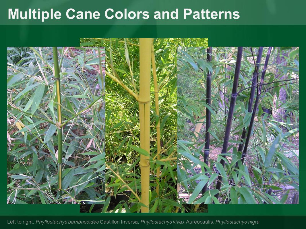 Multiple Cane Colors and Patterns