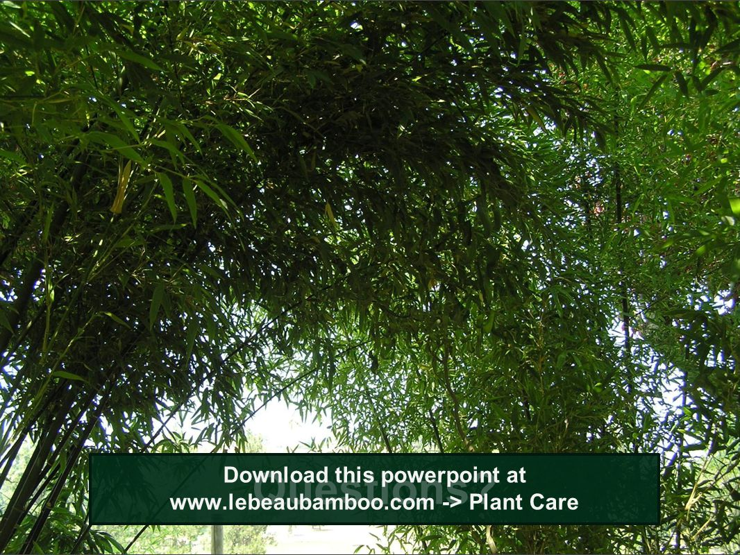 Download this powerpoint at www.lebeaubamboo.com -> Plant Care