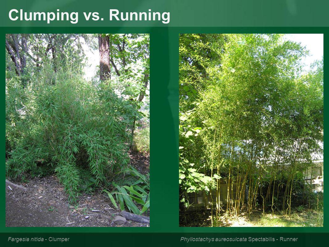 Clumping vs. Running Fargesia nitida - Clumper