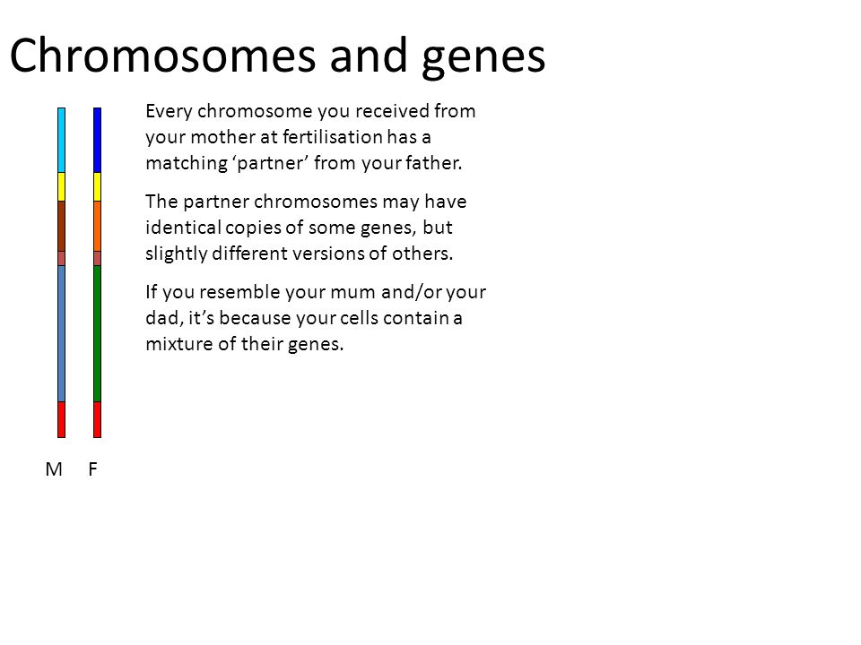Chromosomes and genes Every chromosome you received from your mother at fertilisation has a matching 'partner' from your father.