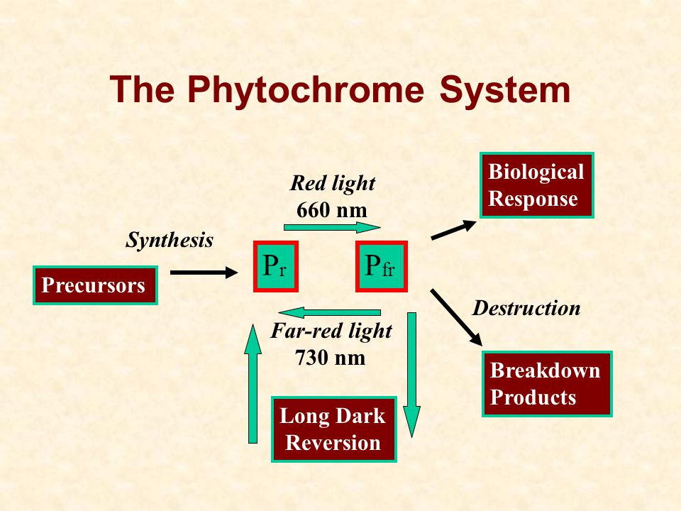 The Phytochrome System