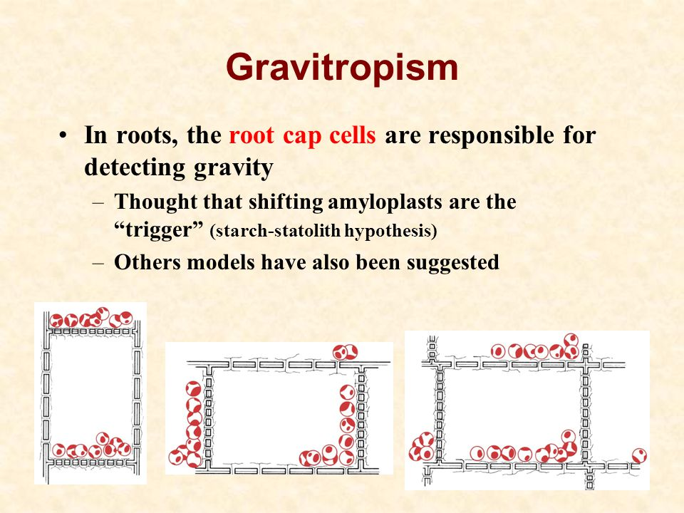 Gravitropism In roots, the root cap cells are responsible for detecting gravity.