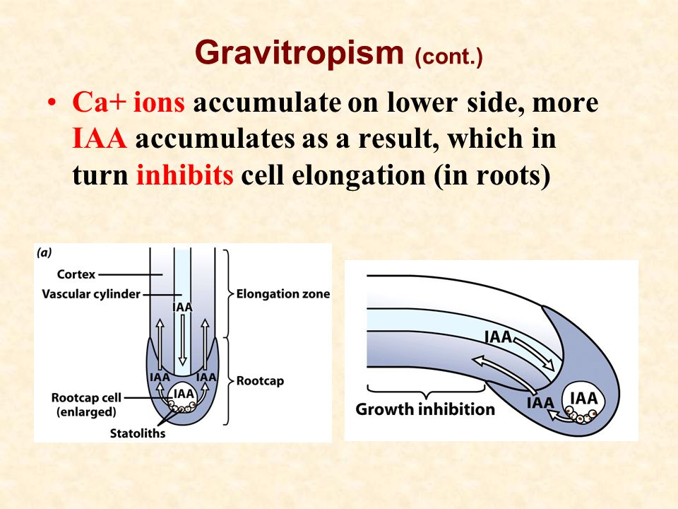 Gravitropism (cont.) Ca+ ions accumulate on lower side, more IAA accumulates as a result, which in turn inhibits cell elongation (in roots)