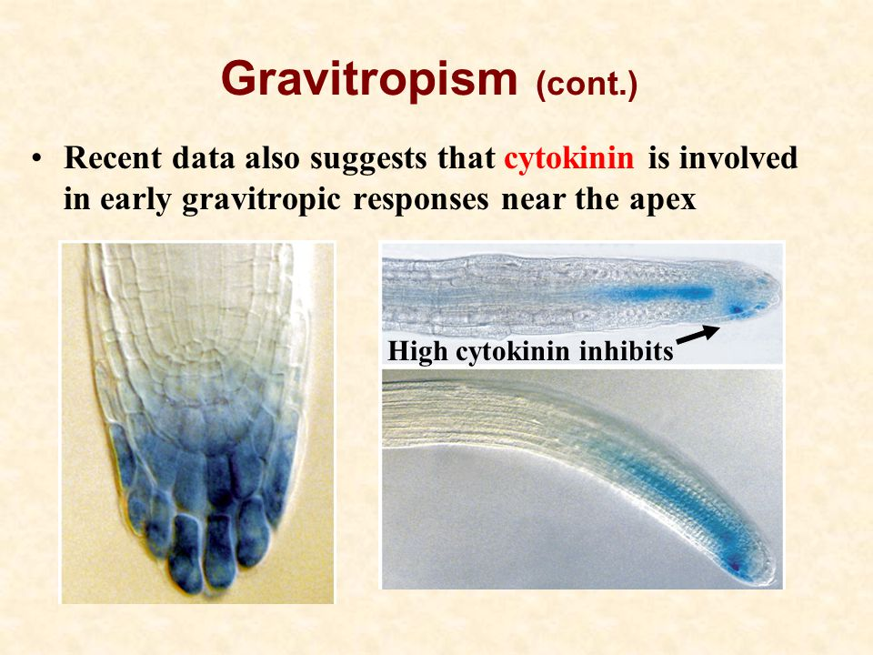 Gravitropism (cont.) Recent data also suggests that cytokinin is involved in early gravitropic responses near the apex.