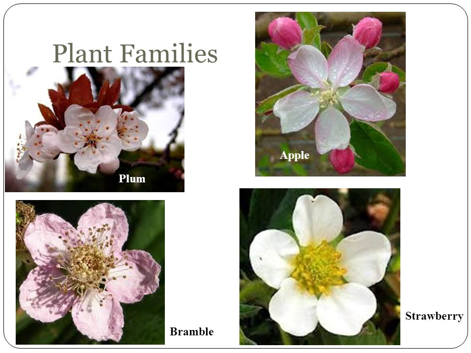 Plant Families Apple Plum Strawberry Bramble