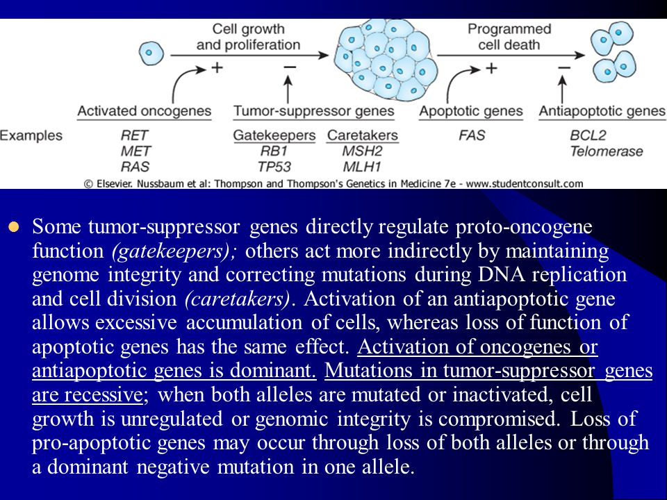 Some tumor-suppressor genes directly regulate proto-oncogene function (gatekeepers); others act more indirectly by maintaining genome integrity and correcting mutations during DNA replication and cell division (caretakers).