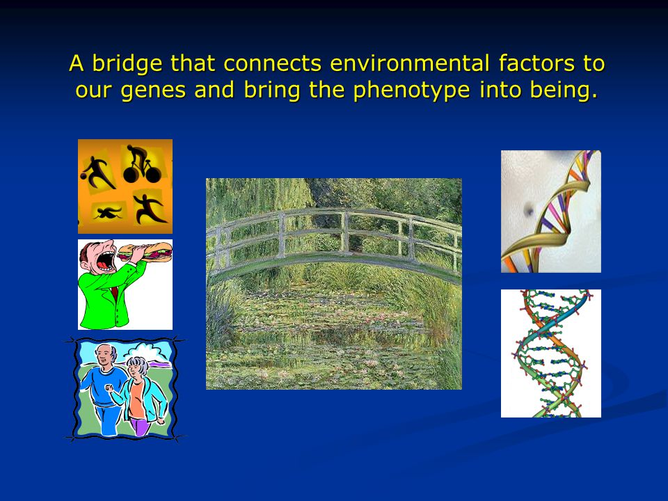 A bridge that connects environmental factors to our genes and bring the phenotype into being.