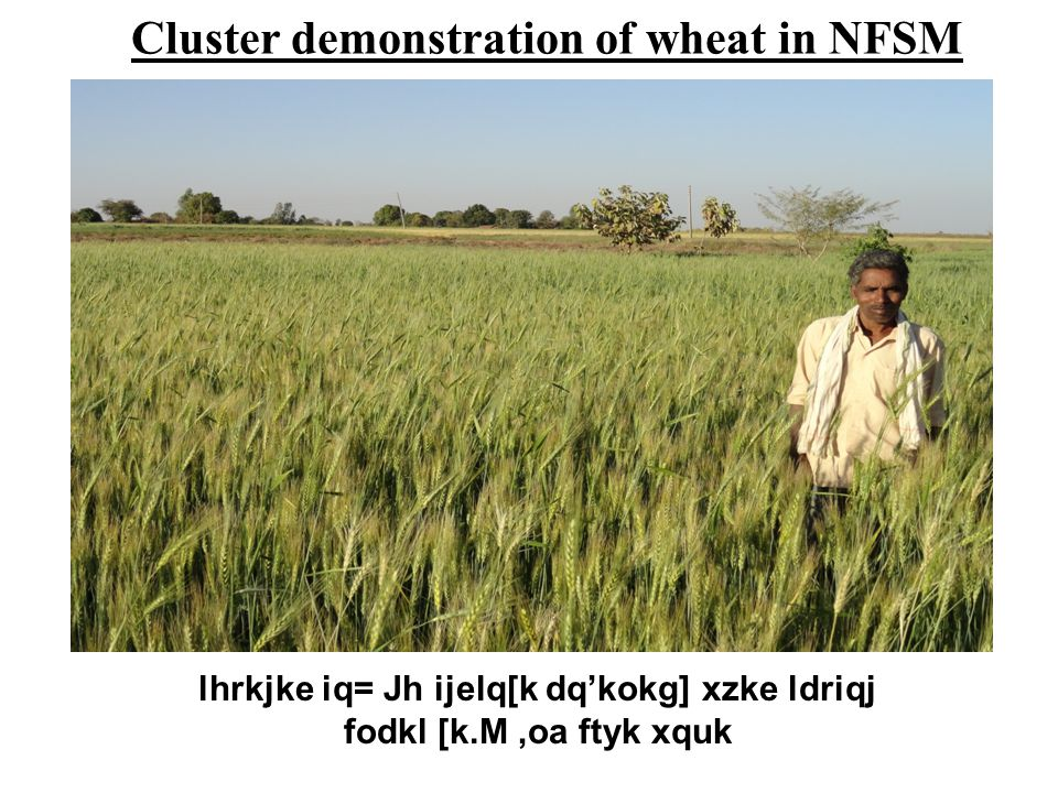 Cluster demonstration of wheat in NFSM