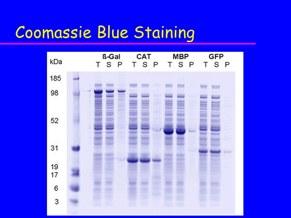 Coomassie Blue Staining