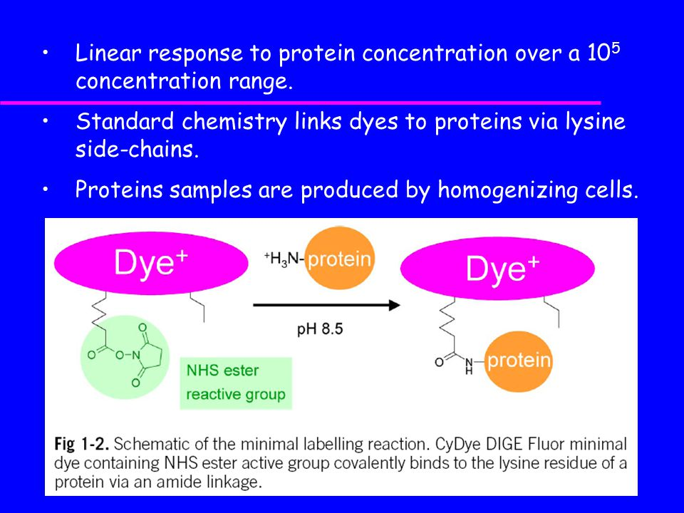 Standard chemistry links dyes to proteins via lysine side-chains.
