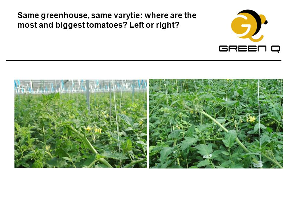 Same greenhouse, same varytie: where are the most and biggest tomatoes