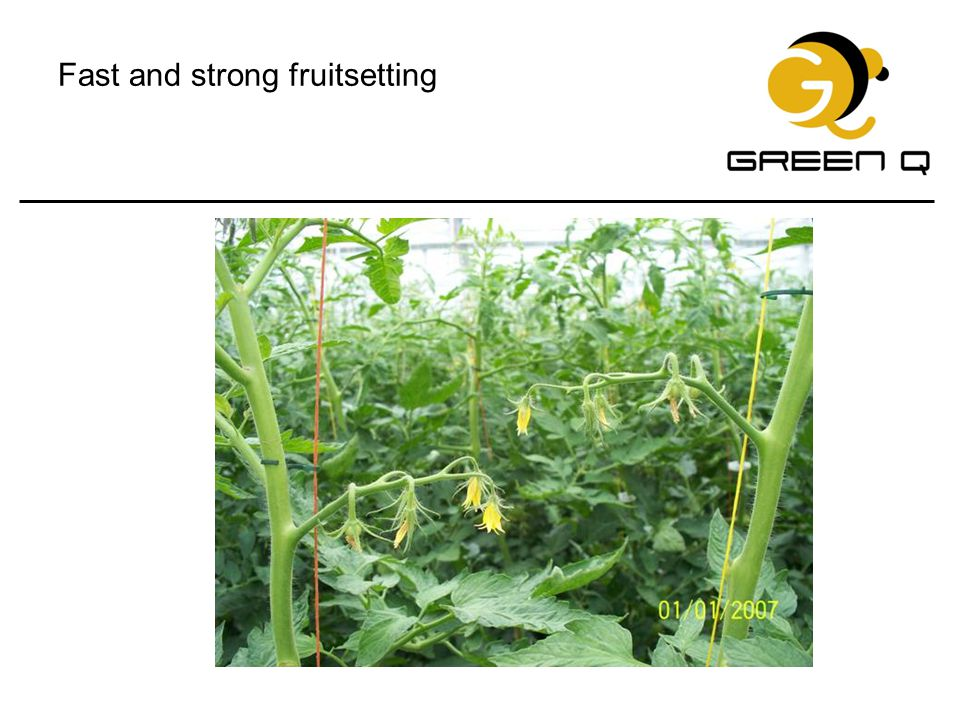 Fast and strong fruitsetting