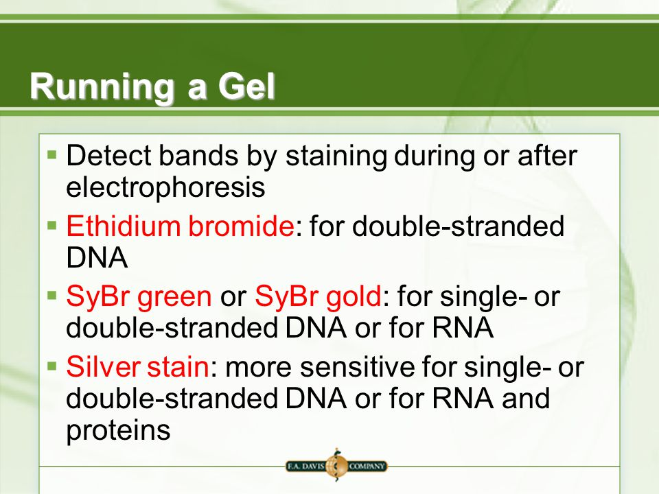 Running a Gel Detect bands by staining during or after electrophoresis