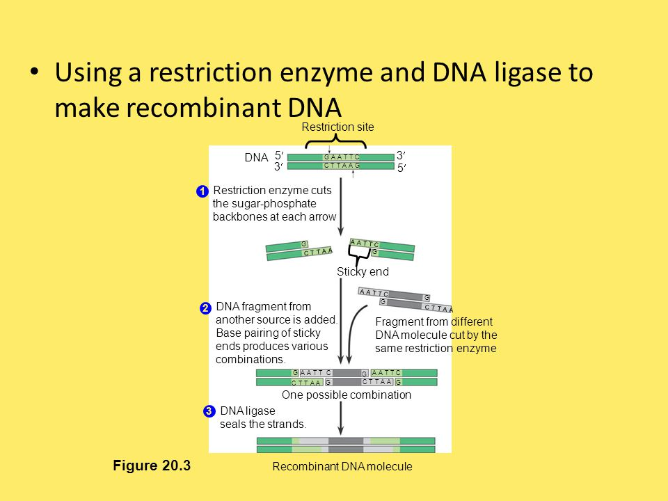 Using a restriction enzyme and DNA ligase to make recombinant DNA