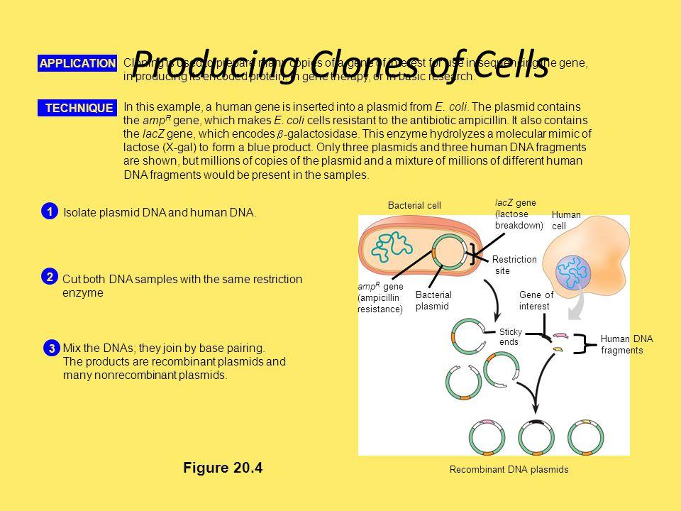 Producing Clones of Cells