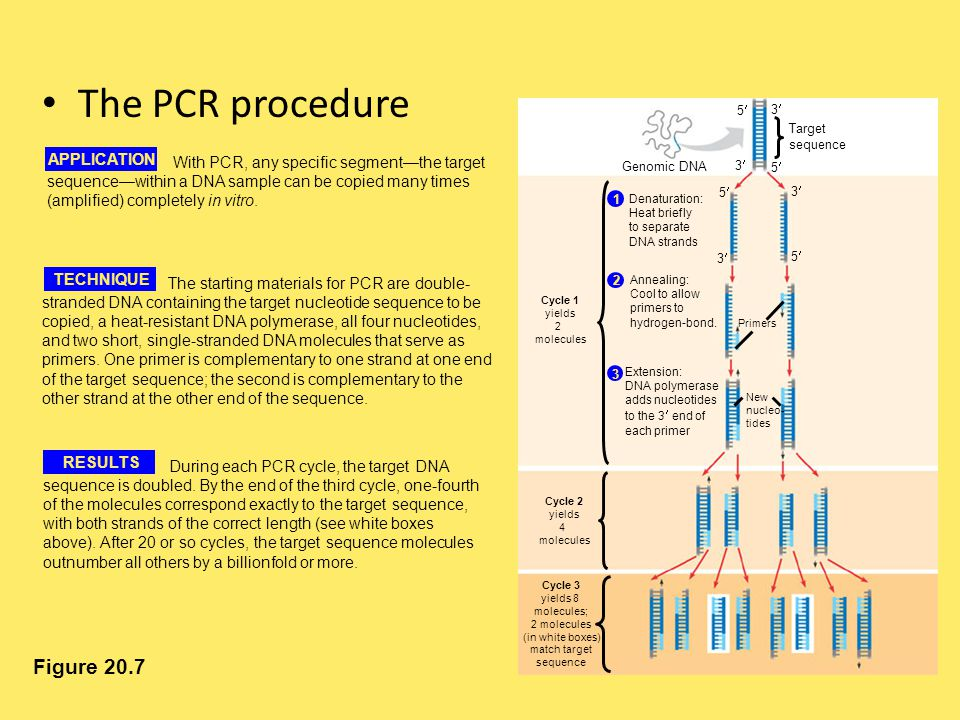 The PCR procedure Figure 20.7 APPLICATION