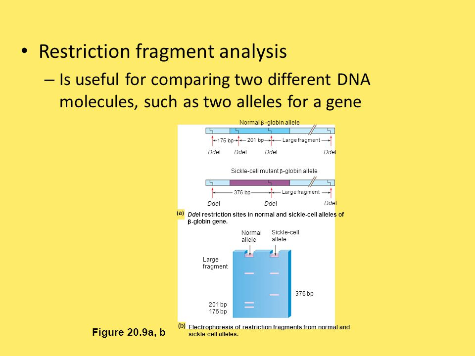 Restriction fragment analysis